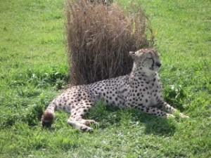 afrique du sud_leopard
