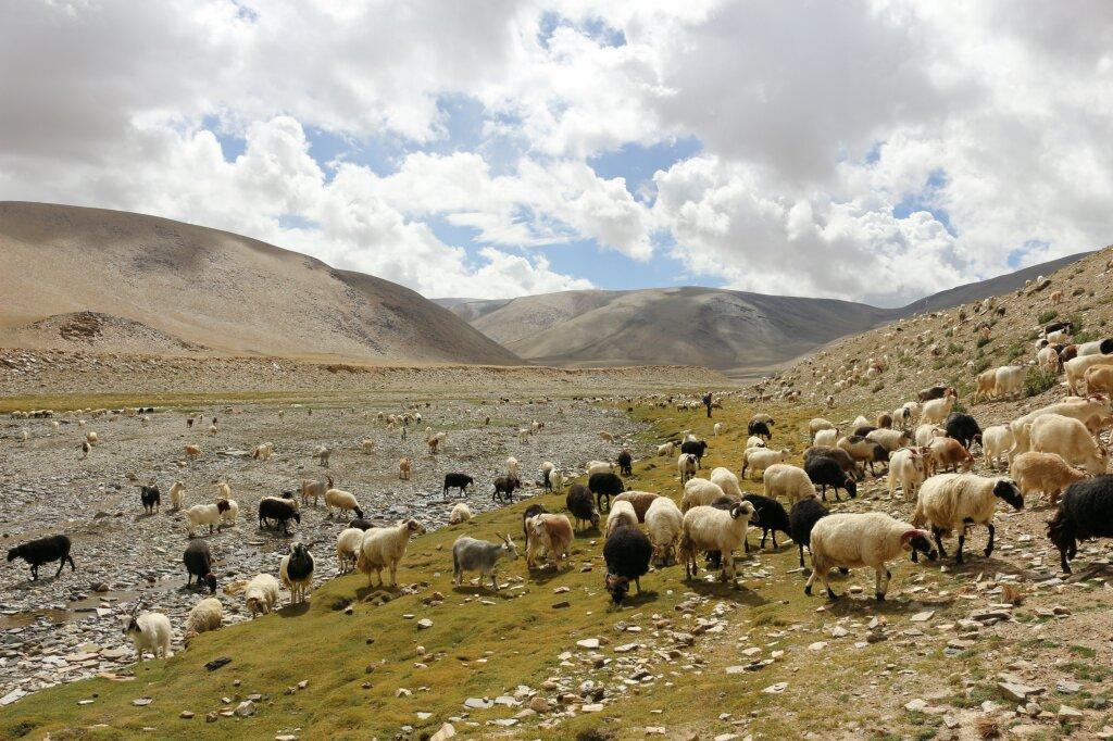 ladakh-chevres-pashmina