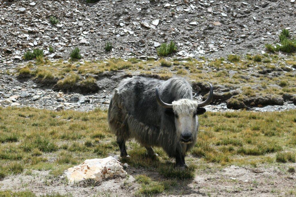 ladakh-yak