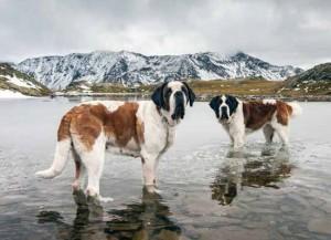 chiens-saint-bernard