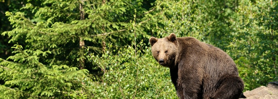 L'ours brun est-il dangereux pour le randonneur ?