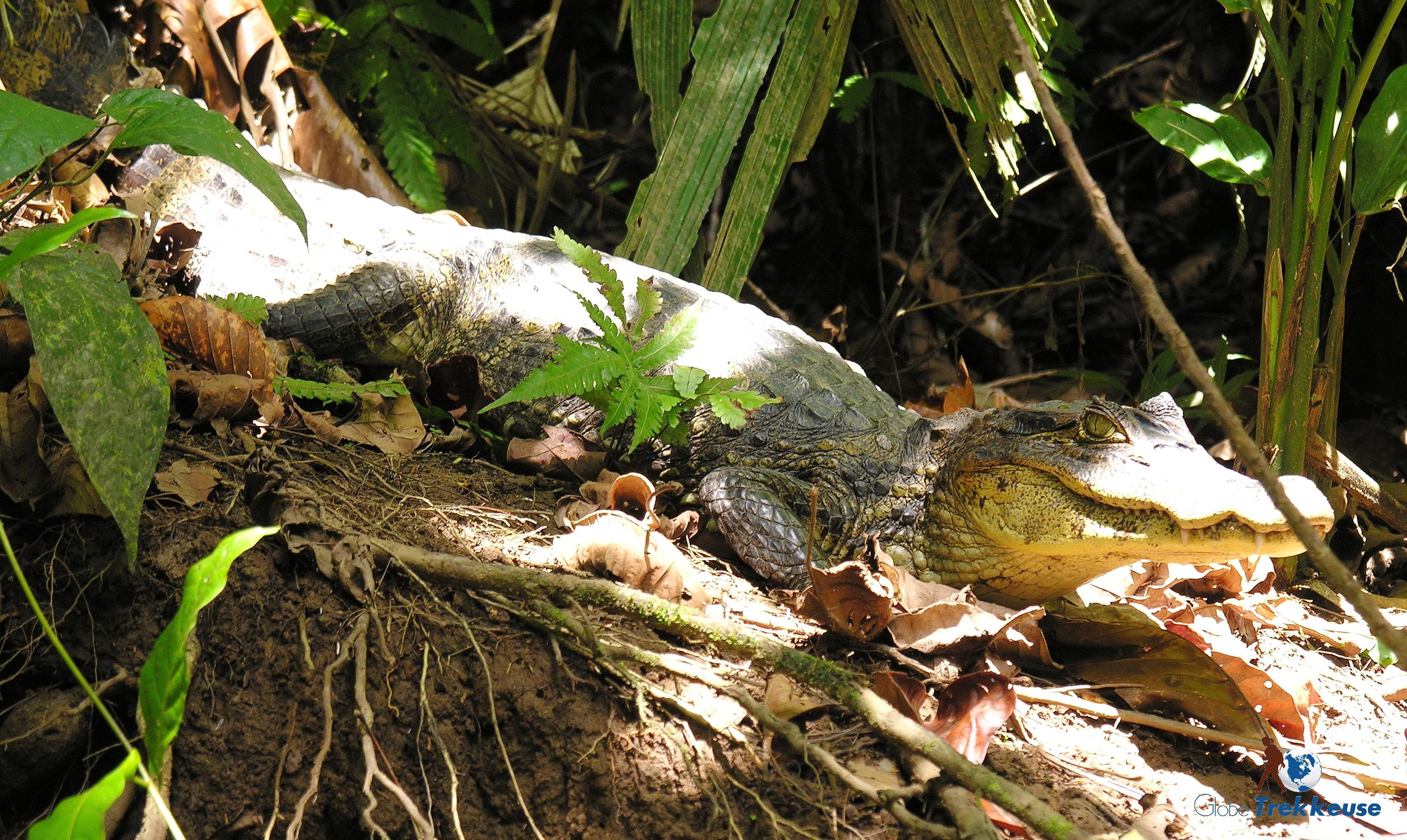 voyage au costa-rica caiman