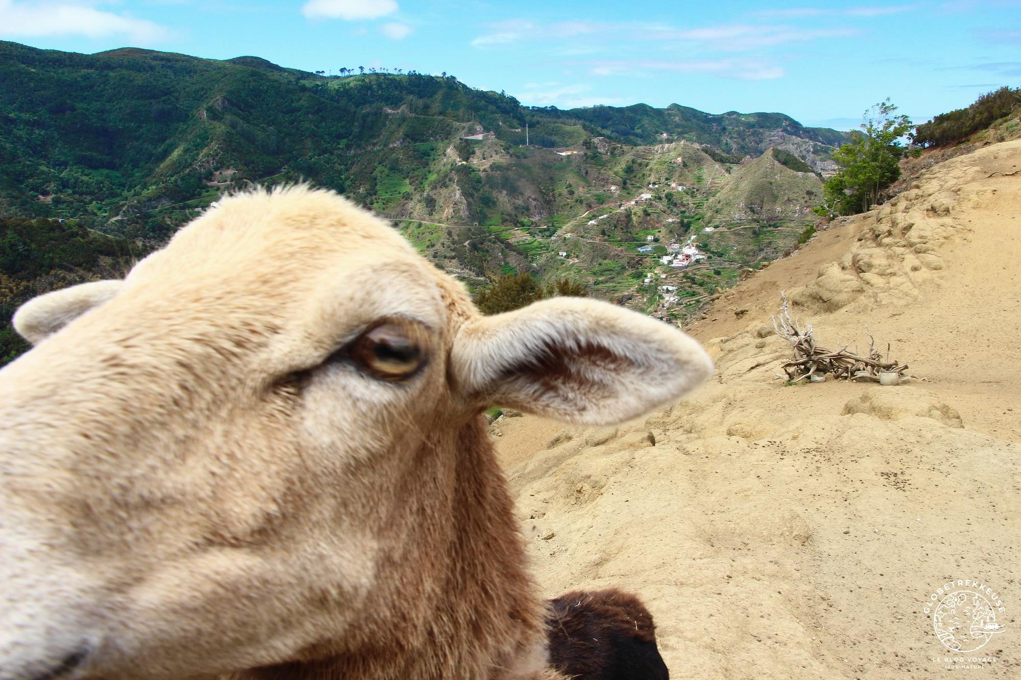 randonnee a tenerife moutons