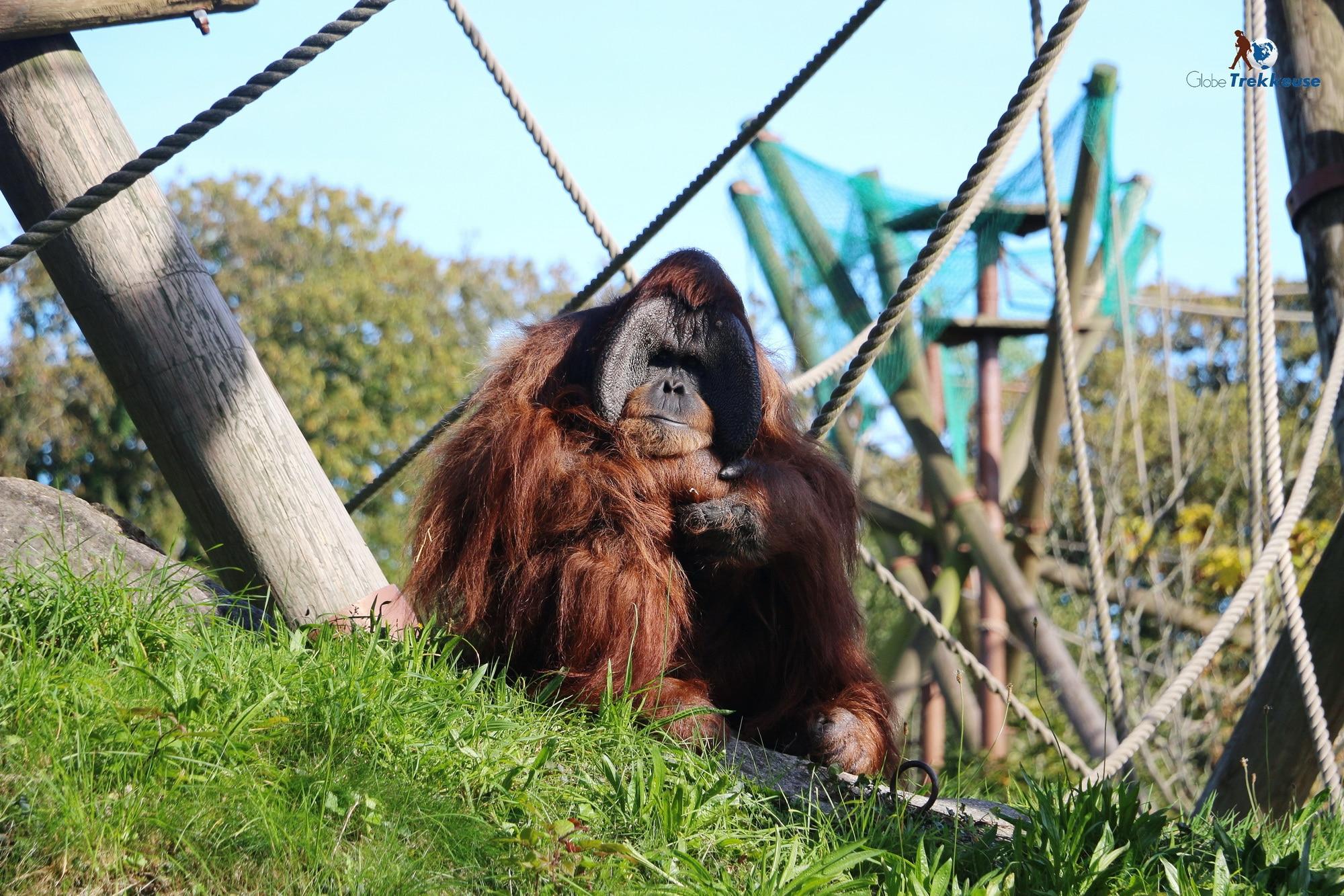 jersey zoo orang outan