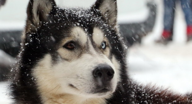 La Grande Odyssée, LA course alpine de chiens de traineaux !