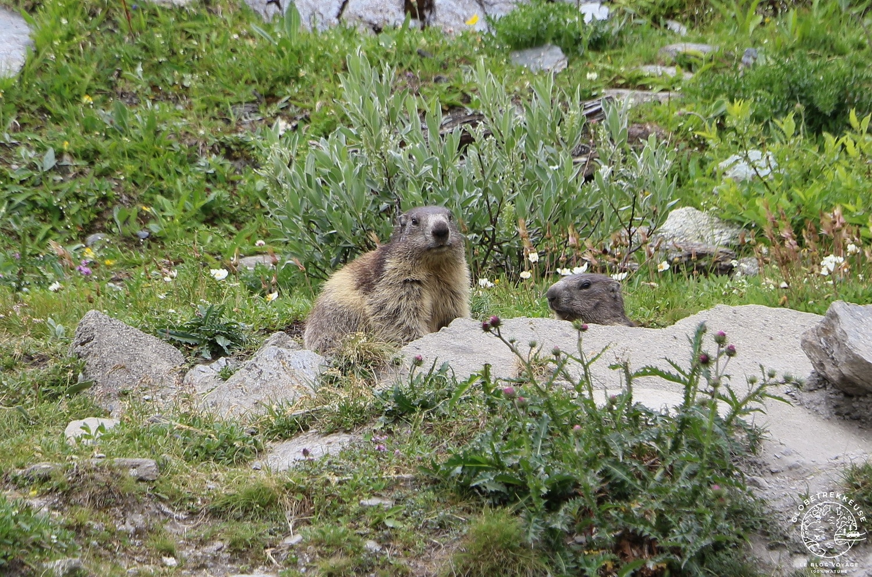 lac de moiry val anniviers marmotte