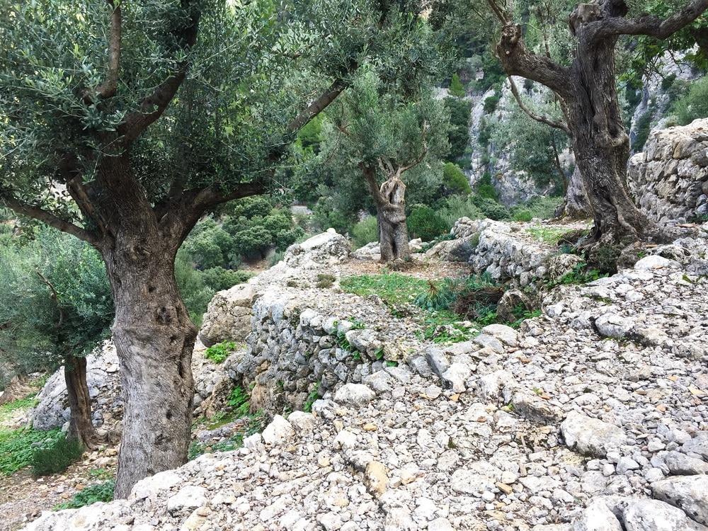 randonnee ile majorque barranc oliviers