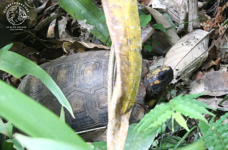 sentier du molokoi guyane tortue