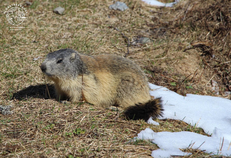 vanoise marmotte