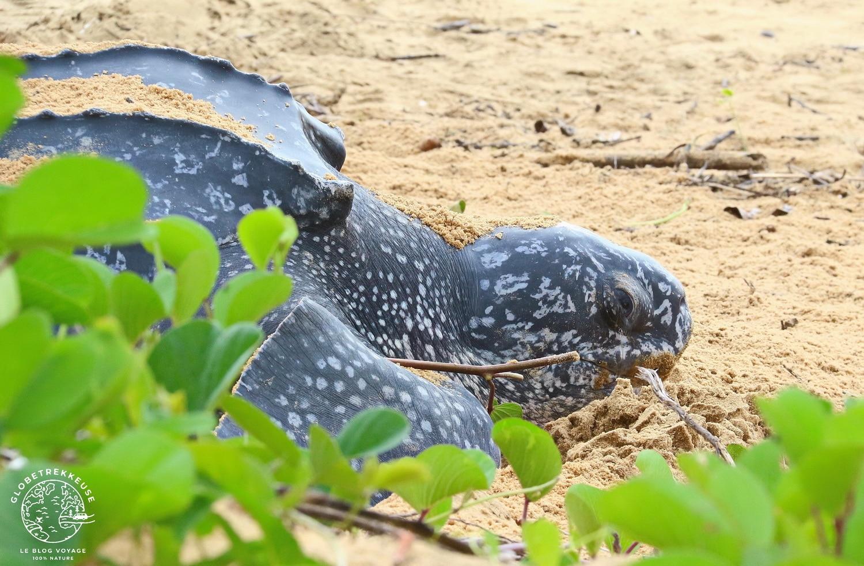 tortues marines de guyane luth