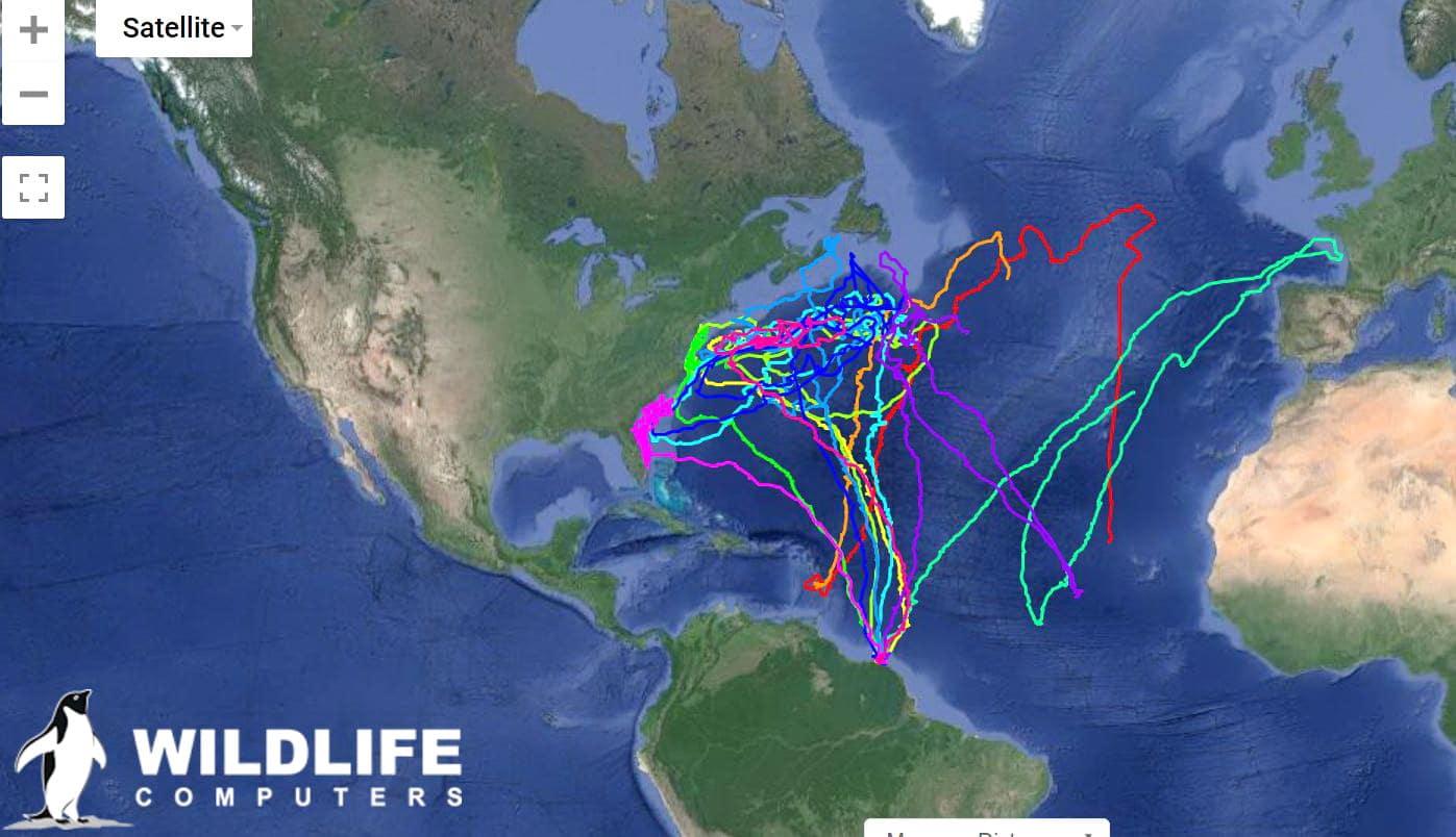 tortues marines de guyane suivi argos