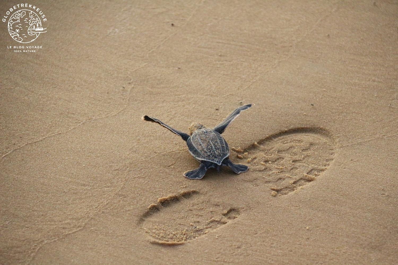 tortues marines guyane bebe luth