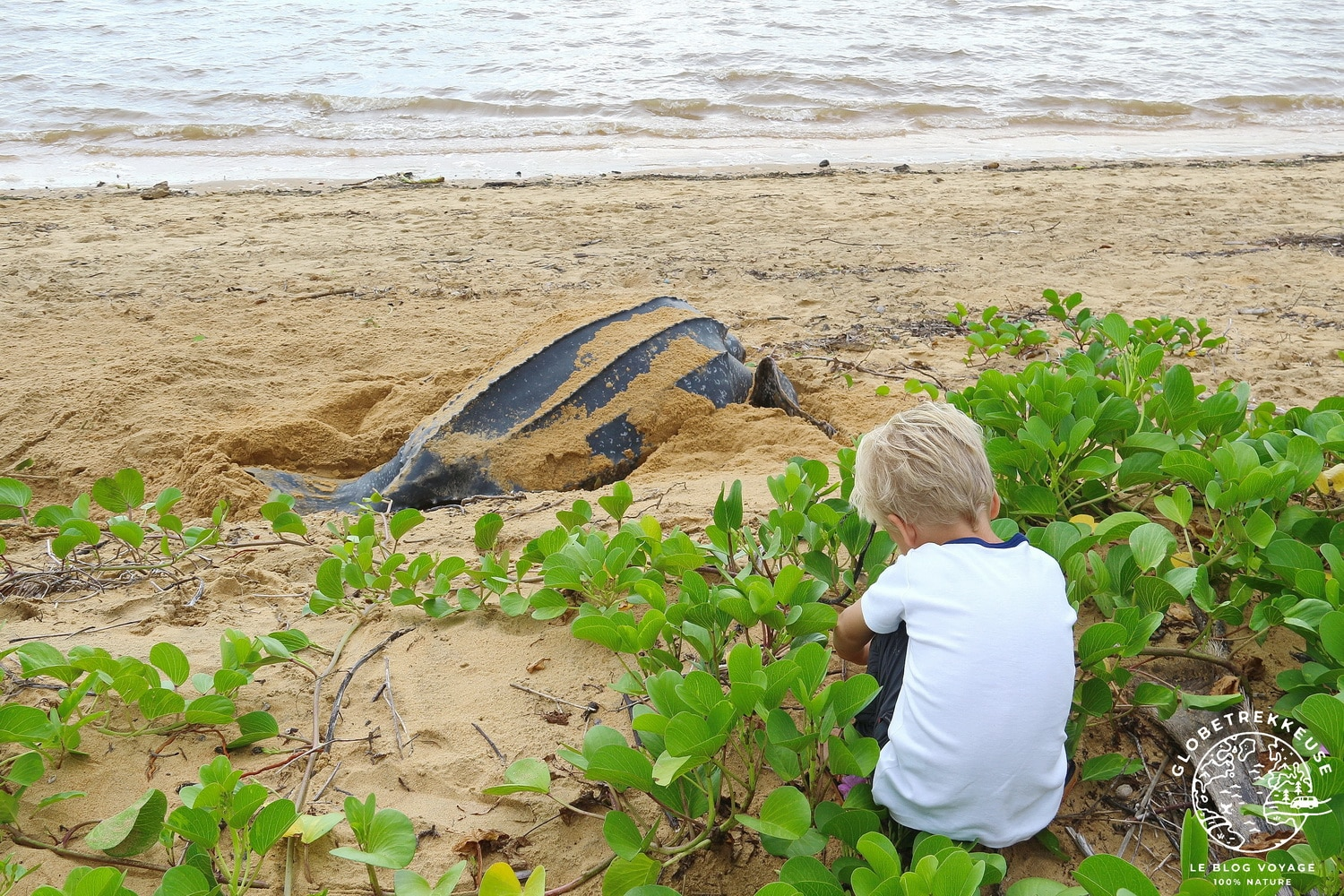 tortues marines guyane luth observation