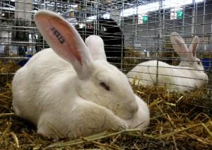 paris-en-famille-salon-agriculture-lapin-geant