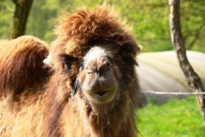 pays-de-bitche-chameau