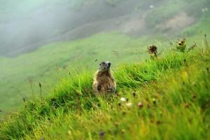 randonnee-vorarlberg-marmotte